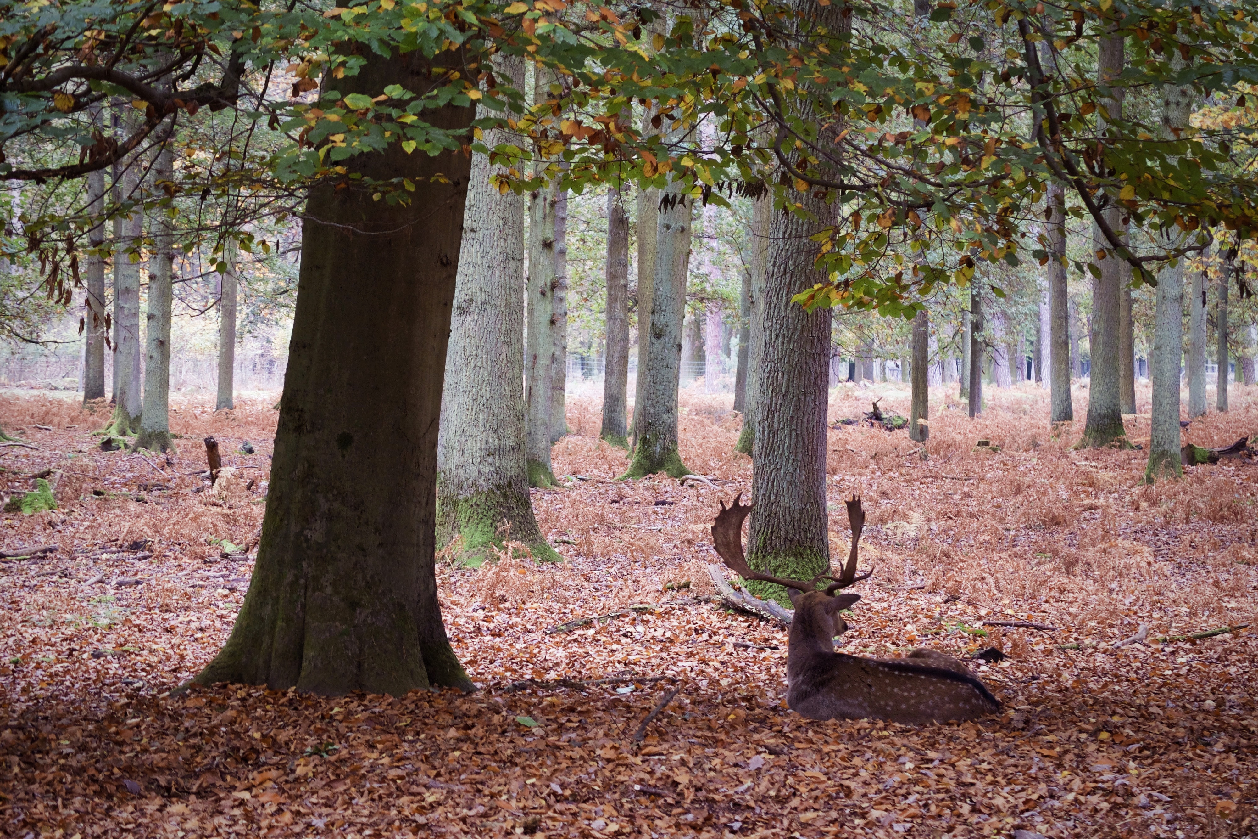 Deer laying in the forest